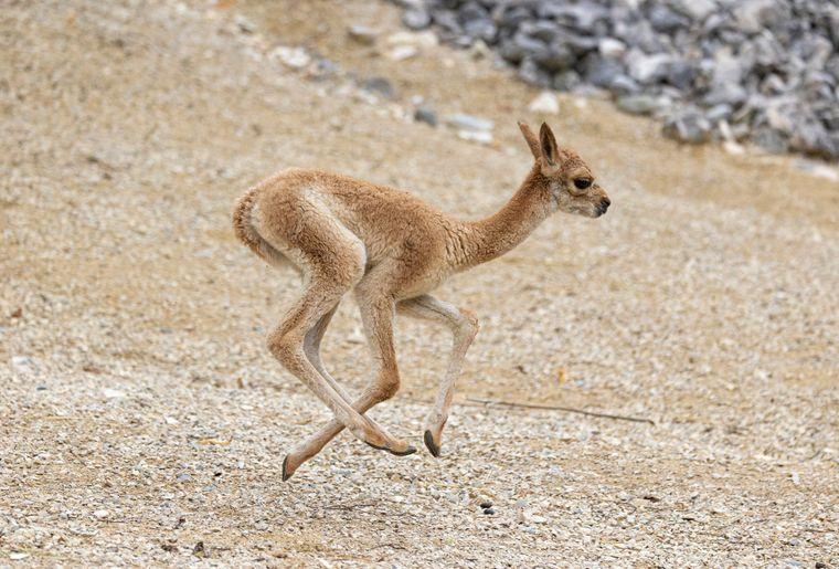 vigogne-naissance-zoo-zurich-3