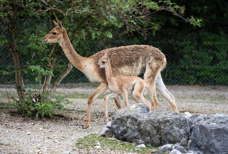 vigogne-naissance-zoo-zurich