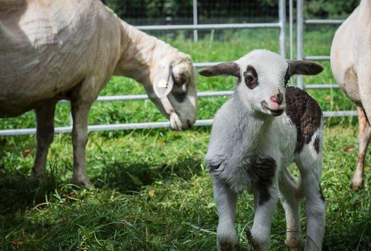 marche-ProSpecieRara-lausanne-agneaux