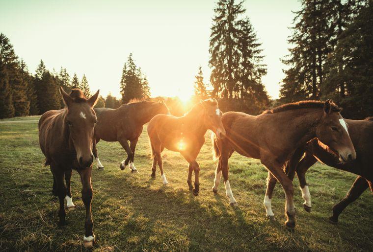 franches-montagnes-chevaux-jura.jpg