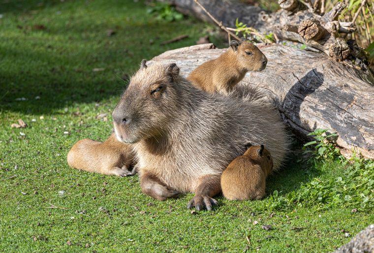 zoo-zurich-capybara-petits