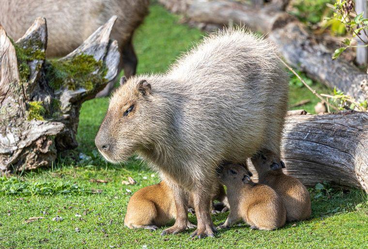 zoo-zurich-capybara