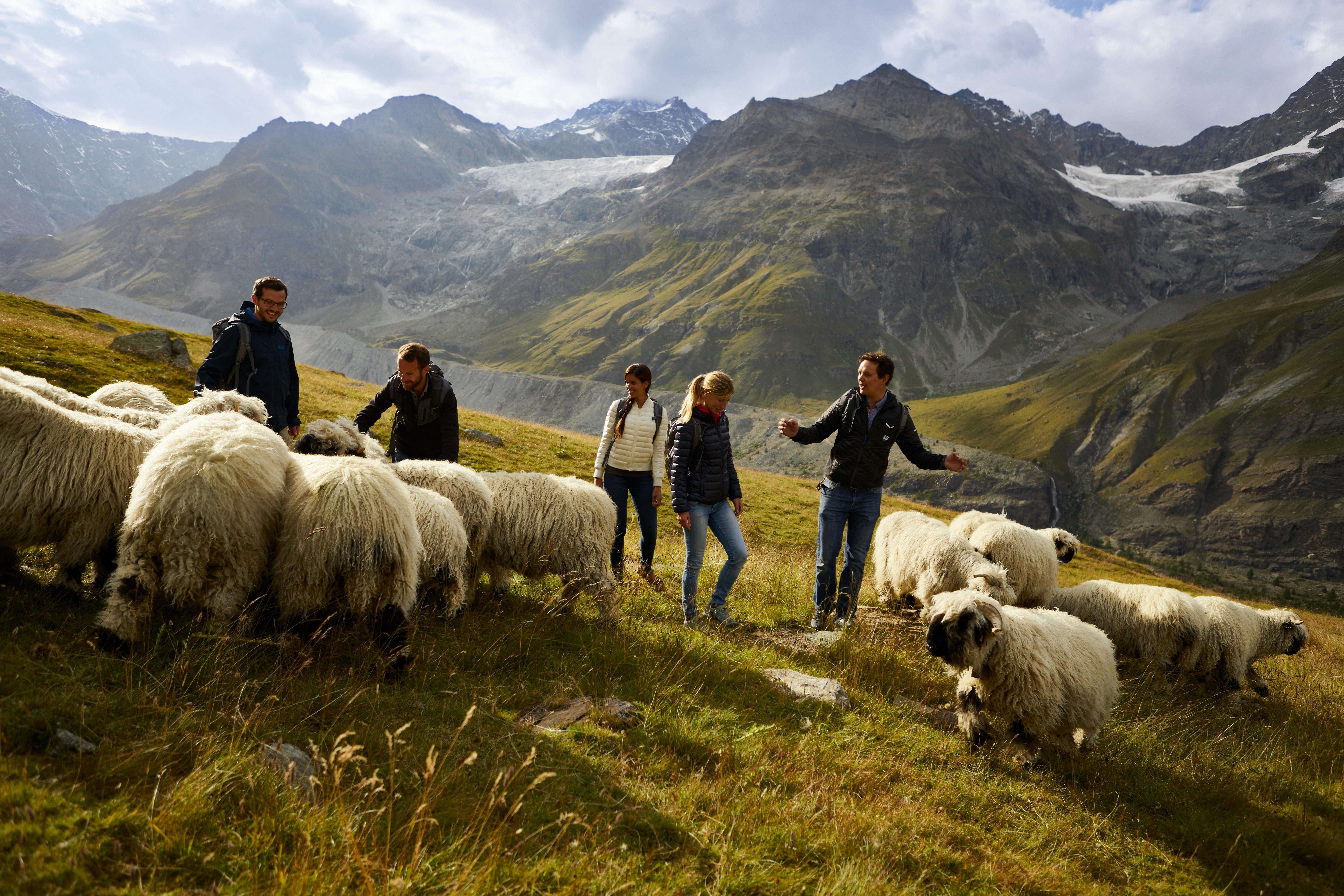 Balades insolites avec des animaux insolites - A la rencontre des moutons à nez noir avec Tradition Julen Zermatt AG